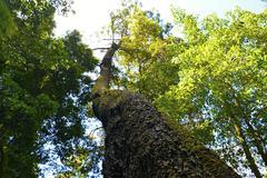 Tall Tree - stock photo