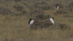 Sage Grouse Males Fight with Wings Stock Footage