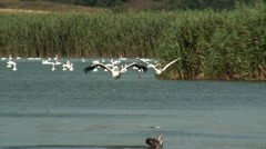 Flying Great White Pelicans (Pelecanus onocrotalus) Stock Footage