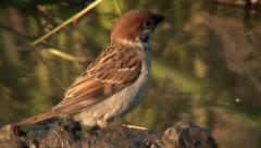 Tree Sparrow (Passer montanus) bathing in a puddle Stock Footage