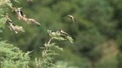 Sand martins (Riparia riparia) Stock Footage