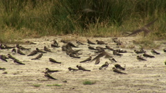 Group of Sand martins (Riparia riparia) in sand Stock Footage