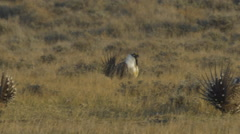 Sage Grouse Chase Females on Lek Stock Footage