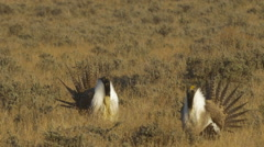 Sage Grouse Strut and Display at Sunrise Stock Footage