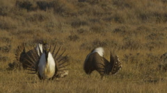 Sage Grouse Dance in Morning Sun 02 Stock Footage