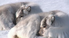 Little fluffy reindeer lying on the snow. - stock footage