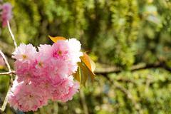 Japanese sakura blossomed - stock photo