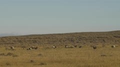 Sage Grouse Lek Establishing Shot - with fighting Stock Footage