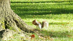 Squirrel in autumn park Stock Footage