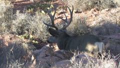 Mule Deer Buck Preparing His Bed Looks Around for Danger Stock Footage
