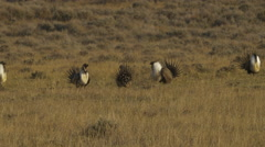 Sage Grouse Fighting in pairs Stock Footage