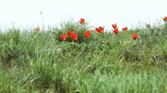 Colorful tulips bloom in the desert Stock Footage