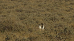 Close on Sage Grouse Fight Stock Footage