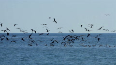 Seagulls flying in circles in the sea near to the coast. Stock Footage