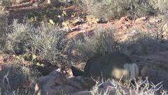 Mule Deer Buck Preparing to Bed Down in Desert Habitat Stock Footage