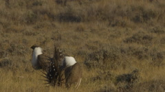 Male Sage Grouse Displaying on Lek in Sunlight Stock Footage