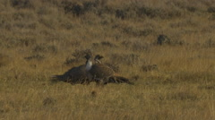 Two Sage Grouse fighting close - stock footage