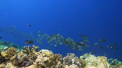 Humpback snapper on a coral reef Stock Footage