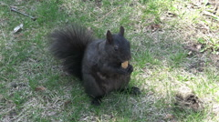 A black squirrel having a snack - stock footage