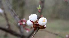 Close-up of apricot tree flower stirred by wind in spring Stock Footage
