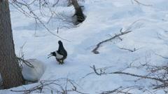 Black grouse or Blackgame (Lyrurus tetrix or Tetrao tetrix). Stock Footage