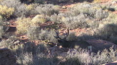 Zoom In on Rutting Buck Standing by Rocks Sagebrush & Cactus Stock Footage
