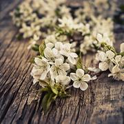 branch of the cherry blossoms closeup on wooden background - stock photo