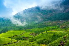 green tea plantations with fog early in the morning, Munnar, Kerala, beautifu - stock photo