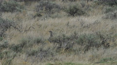 Female Sage Grouse looking for food Stock Footage