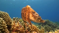Cuttlefish on a coral reef Stock Footage