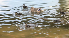 Ducks  family in a lake, eating bread and diving Stock Footage