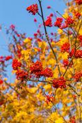 Rowan in autumn Stock Photos