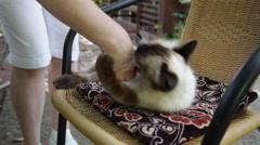 Playful cat, Birman cat playing, woman's hand, biting, scratching, lovely pet Stock Footage