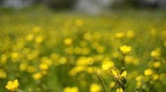 Buttercups in a field Stock Footage
