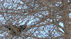 Bird songs: Black grouse or Blackgame (Lyrurus tetrix or Tetrao tetrix). Stock Footage