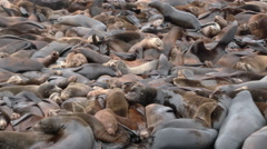 Stock Video Footage of Sea Lion Over Population
