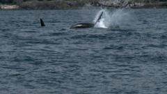 Orca, Killer Whale, Whales, Black Fish Stock Footage