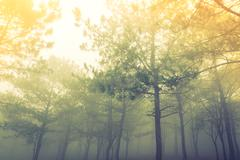 Forest tree during a foggy day ( Filtered image processed vintage effect. ) Stock Photos