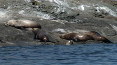 Steller Sea Lions, Sea Lions, Seals Stock Footage