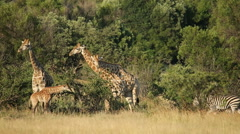 Giraffes and zebras in natural habitat - stock footage