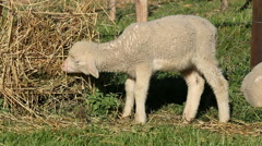 Merino sheep lamb Stock Footage