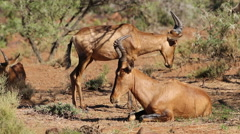 Red hartebeest antelopes Stock Footage