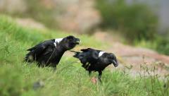 White-necked ravens feeding - stock footage