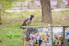 Hooded crow with Garbage Kuvituskuvat