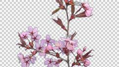 Time-lapse of blooming pink sakura branch with ALPHA Stock Footage