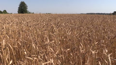 Ripe wheat plant crop ears grow in field. Left side sliding Stock Footage