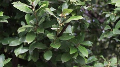 A laurel shrub. Stock Footage