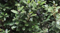 A bay laurel tree. Stock Footage