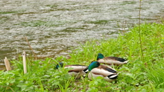 Three drake resting on the river bank Stock Footage