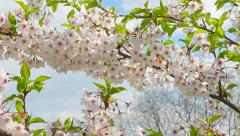 Flowers of Japanese sakura against the blue sky Stock Footage